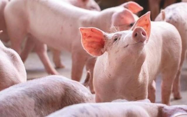 Khó khăn bủa vây ngành chăn nuôi lợn toàn cầu - Ảnh 1