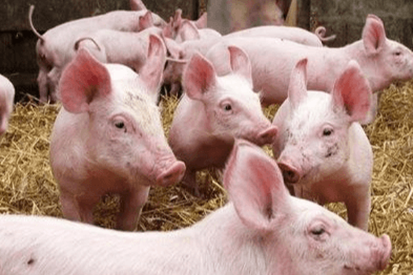 Khó khăn bủa vây ngành chăn nuôi lợn toàn cầu - Ảnh 3