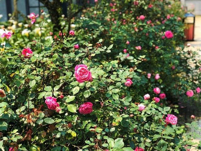 Mục sở thị vườn hồng lớn nhất Sapa, hứa hẹn sẽ là địa điểm sống ảo triệu Like hậu Covid 19 - Ảnh 1