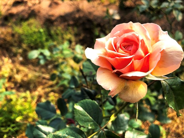 Mục sở thị vườn hồng lớn nhất Sapa, hứa hẹn sẽ là địa điểm sống ảo triệu Like hậu Covid 19 - Ảnh 4