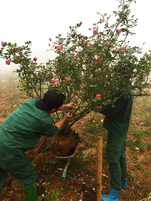 Mục sở thị vườn hồng lớn nhất Sapa, hứa hẹn sẽ là địa điểm sống ảo triệu Like hậu Covid 19 - Ảnh 5