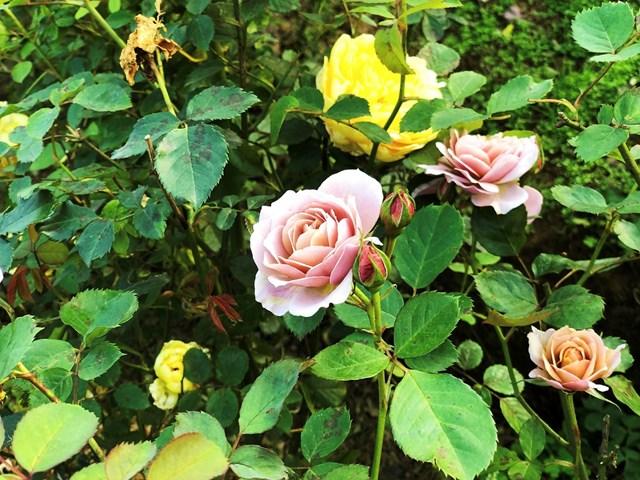 Mục sở thị vườn hồng lớn nhất Sapa, hứa hẹn sẽ là địa điểm sống ảo triệu Like hậu Covid 19 - Ảnh 6