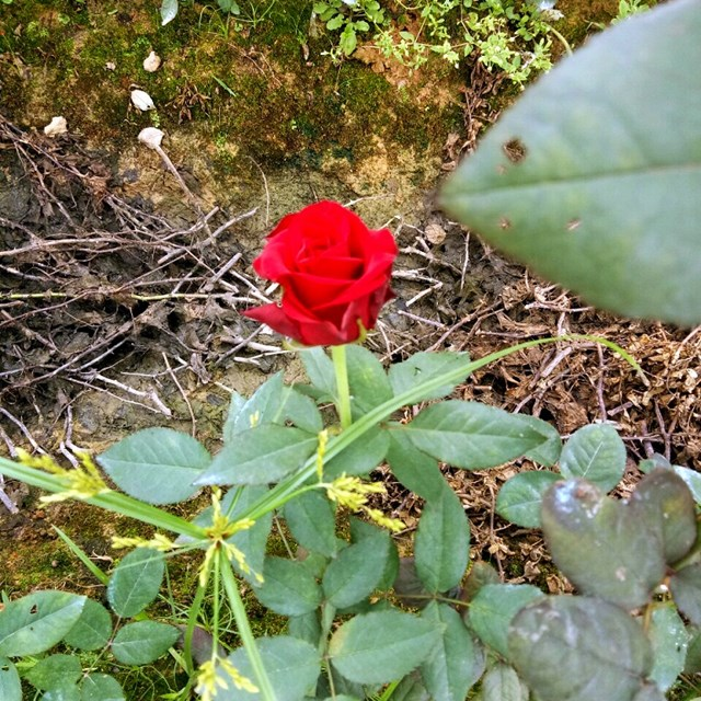 Mục sở thị vườn hồng lớn nhất Sapa, hứa hẹn sẽ là địa điểm sống ảo triệu Like hậu Covid 19 - Ảnh 8