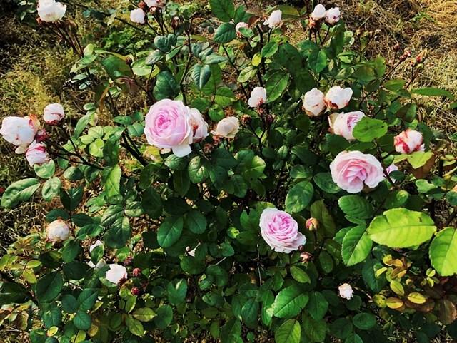 Mục sở thị vườn hồng lớn nhất Sapa, hứa hẹn sẽ là địa điểm sống ảo triệu Like hậu Covid 19 - Ảnh 9