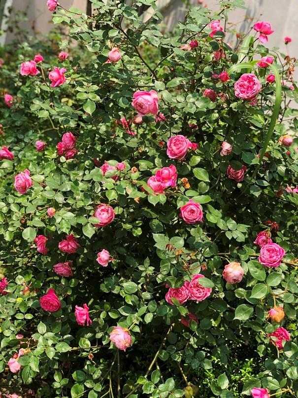 Mục sở thị vườn hồng lớn nhất Sapa, hứa hẹn sẽ là địa điểm sống ảo triệu Like hậu Covid 19 - Ảnh 10