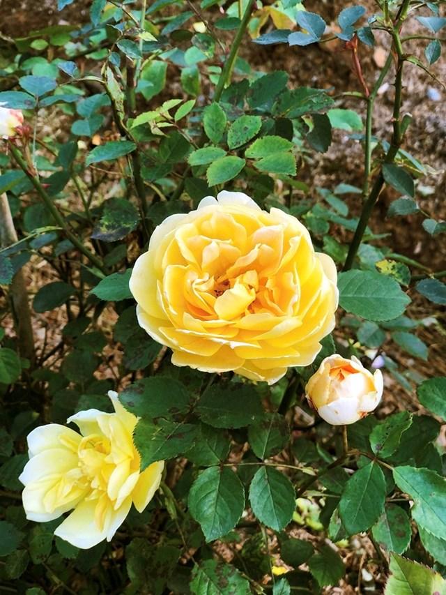Mục sở thị vườn hồng lớn nhất Sapa, hứa hẹn sẽ là địa điểm sống ảo triệu Like hậu Covid 19 - Ảnh 3